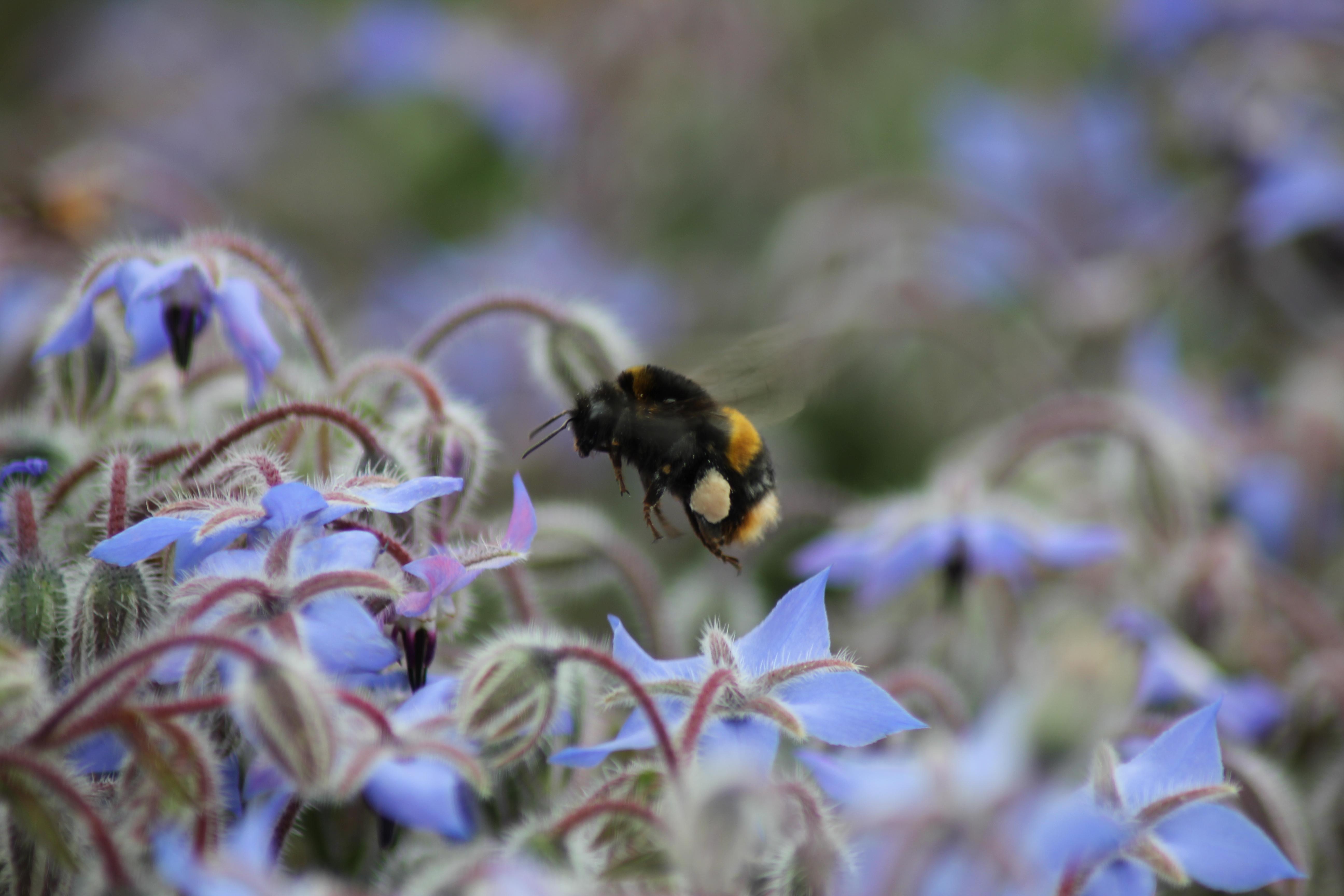 Borage Bees