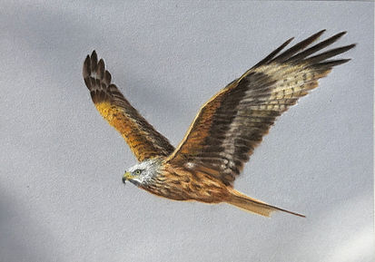 Red Kite.jpeg