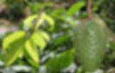 Annona muricata.png