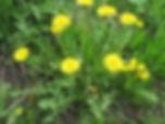Löwenzahn (taraxacum).jpg
