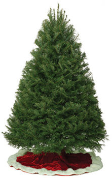 Grand Fir Christmas Tree w/ delivery