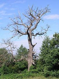 dead oak.jpg