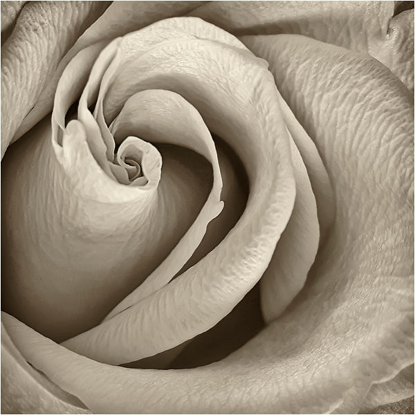 ROSE  [Angie].jpg