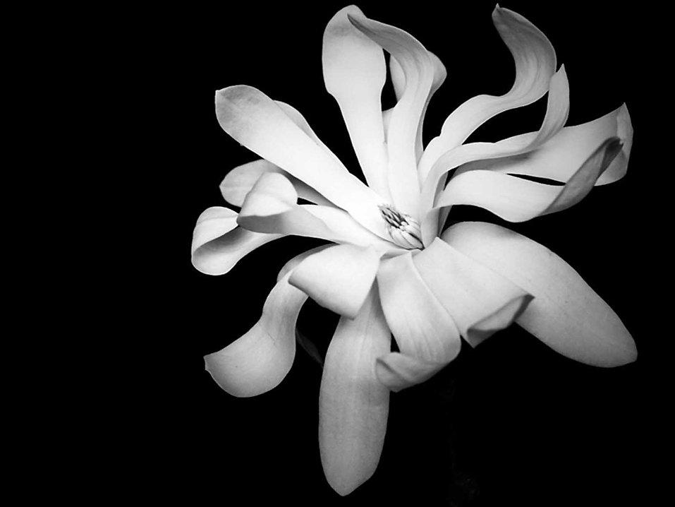 Magnolia  [Tracy].jpg