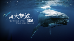 swimming with humpback whale 1920 KV
