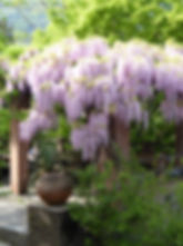 Glyzinie Boesch AG Gartenbau Gartenpflege Landschaftsbau