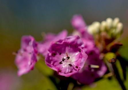 Kalmia à feuilles d'andromède