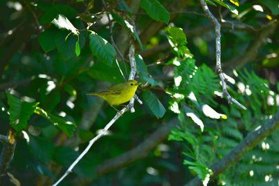 Paruline jaune adulte, parc des Sillons