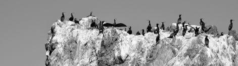 Roi du cap, cormorans (2)