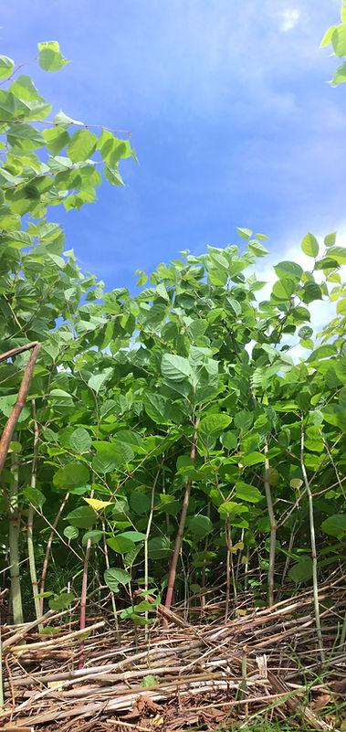 Gestion des espèces végétales exotiques envahissantes (2)