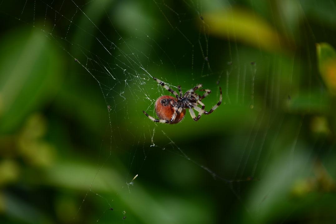Araignée sp., parc des Sillons