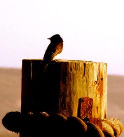 phoebe on stump 2