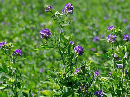 Global Alfalfa Hay Market Growth