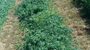 Freshly Cut Alfalfa