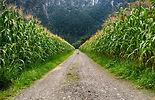 coniferous-corn-corn-field-751096.jpg