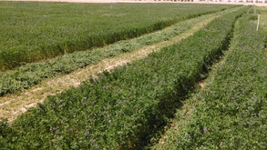 VIRENXIA's Alfalfa