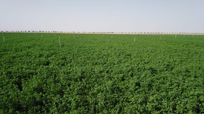 Our Alfalfa Field