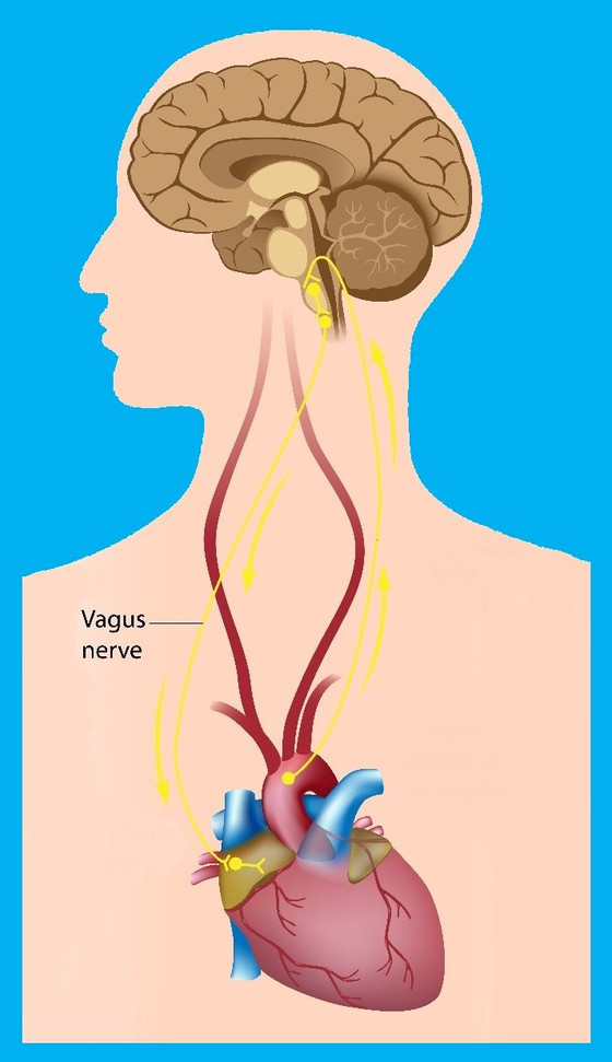 Let's learn about the all powerful Vagus Nerve and its effect on inflammation