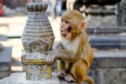 singe-chitwan-parc.jpg