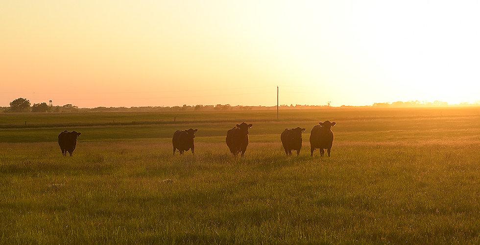 cow calf 4.jpg