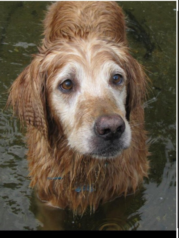 Golden Retiever in the river