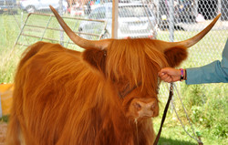cattle fair 2013 163.jpg