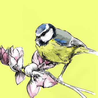 blue tit new magnolia_summer_ yella.jpg