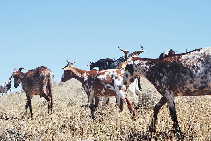 L'importance de l'eau lors de l'effondrement. Les chèvres ont un petit besoin d'eau, idéal en situation de crise.