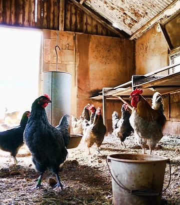 Les poules ont besoin de peu d'eau. L'importance de l'eau lors de l'effondrement