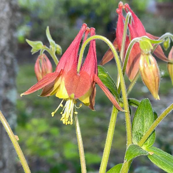 Aquilegia candensis - Wild Columbine