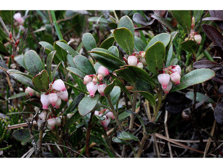Arctostaphylos uva-ursi aka Kinnikinnick or Bearberry