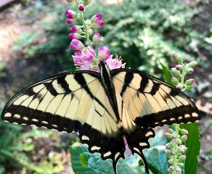 Want Butterflies?  You Need Host Plants!