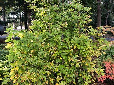 Clethra alnifolia aka Summersweet or Sweet Pepperbush