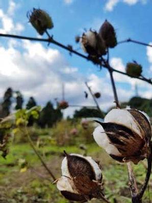 cottonfarm.jpg