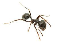 plagospeed-hormigas.jpg