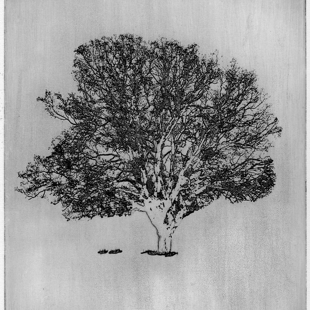 """The Old Oak Tree"" (black variant) Kirsti Aasheim/ etching/ 17x19,5 cm"