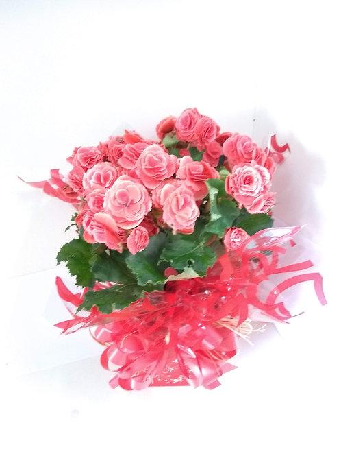Begônia Rosa Especial