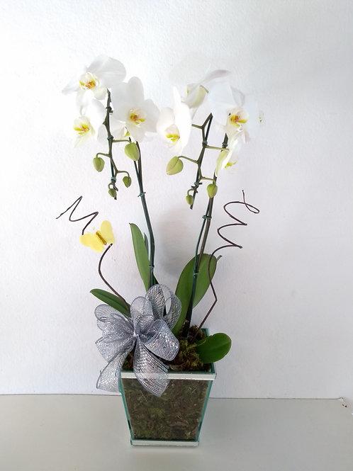 Phalaenopsis Glamurosa