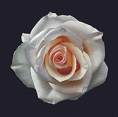 Roos met warm hart 120x120cm-WEB.jpg