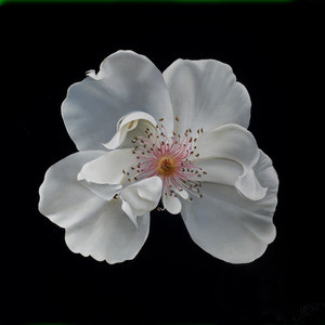 ROSE FROM MY GARDEN VI