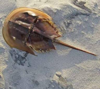 Horseshoe Crab :