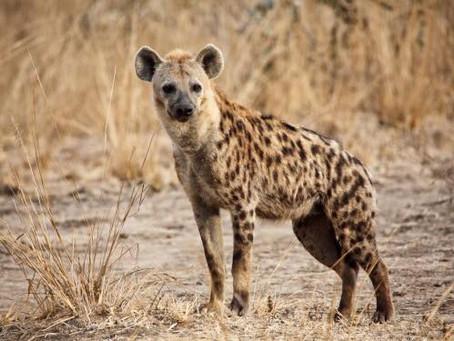 Hyena Animal Spirit Guide