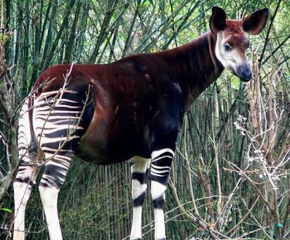 Okapi Animal Spirit Guide