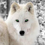 White Wolf Animal Spirit Guide