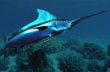 Swordfish Animal