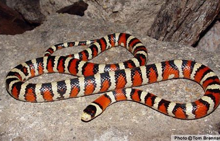 Milk Snake Spirit Guide