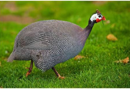 Guinea Fowl Spirit Guide