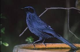 Blue Mockingbird Animal Spirit Guide