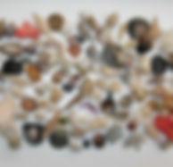 common seashells.jpg