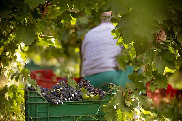 Le uve raccolte nelle vigne Anfra